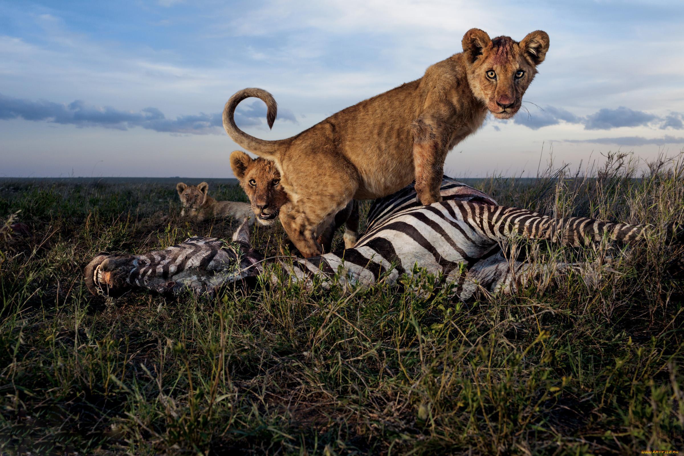 находится картинки львов пантеры и зебра количество верующих